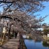 桜、いよいよですね。